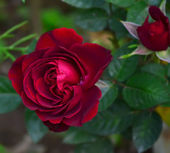 Red rose in the garden. — Stock Photo