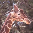 Giraffe Headshot — Stock Video