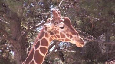 žirafa headshot — Stock video