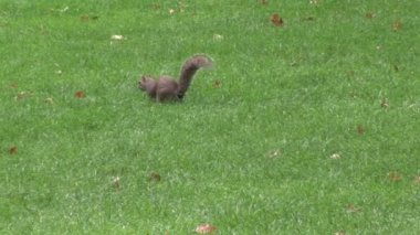 Squirrel in a Park — Stock Video
