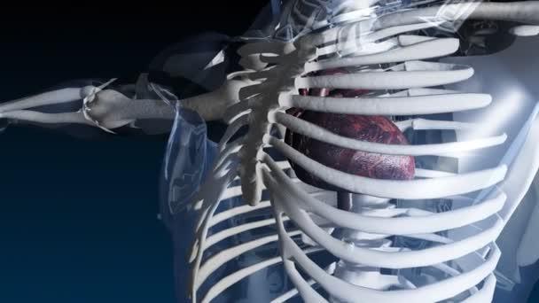 Esqueleto con palpitante corazón — Vídeo de stock