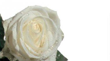 Rain elapsing in super slow motion on white rose — Stock Video