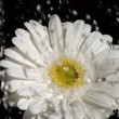 Gerbera in super slow motion being soaked — Stock Video