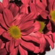 Red chrysanthemum in super slow motion being wet — Stock Video
