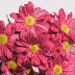 Bunch of pink flowers in super slow motion being watered -  