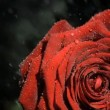 Downpour in super slow motion falling on a red rose - Stockfoto