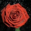 Beautiful rose in super slow motion being soaked - Stok fotoğraf