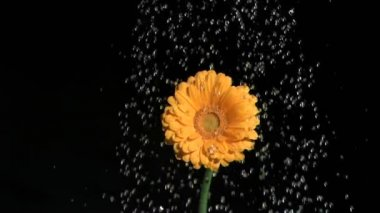 Orange flower in super slow motion being watered — Stock Video