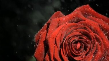 Downpour in super slow motion falling on a red rose — Stock Video