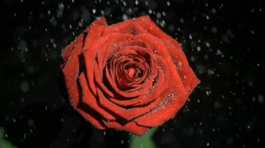 Beautiful rose in super slow motion being soaked — Stock Video