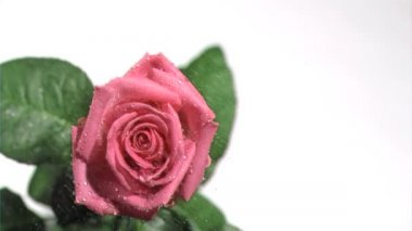Beautiful rose in super slow motion being watered — Stock Video