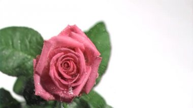 Pink rose in super slow motion being watered — Stock Video