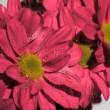 Pink flowers in super slow motion being watered — Stock Video #21791407
