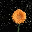 Drops of fresh water in super slow motion watering a flower - Zdjęcie stockowe