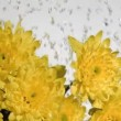 Drops of water in super slow motion falling on a chrysanthemum - Stock Photo