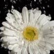 Stock Video: Downpour in super slow motion falling on white gerbera