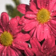Colorful chrysanthemum in super slow motion receiving water - Stock Photo