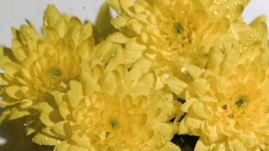 Bunch of yellow flowers in super slow motion being soaked — Wideo stockowe