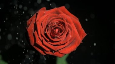 Beautiful red rose in super slow motion being watered — Stock Video