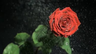 Red flower in super slow motion being watered against a black background