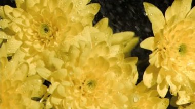 Yellow flowers in super slow motion being sprinkled — Stock Video