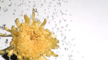 Yellow chrysanthemum in super slow motion being watered — Stock Video