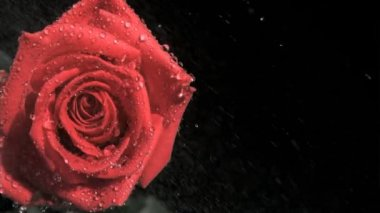 Red rose in super slow motion receiving raindrops — Stock Video