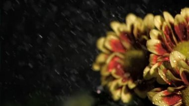 Bunch of flowers in super slow motion being watered — Stock Video