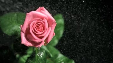 Pink rose being watered in super slow motion — Stock Video