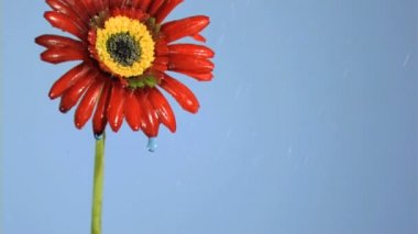 Red gerbera in super slow motion being soaked — Stock Video