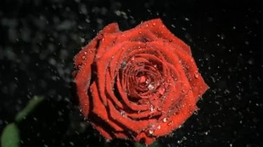 Raindrops in super slow motion flowing on a beautiful rose — Stock Video