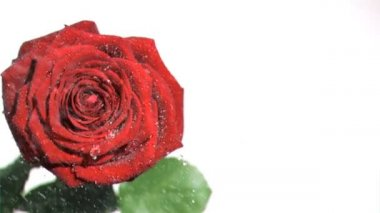 Raindrops in super slow motion falling on a red rose — Stock Video