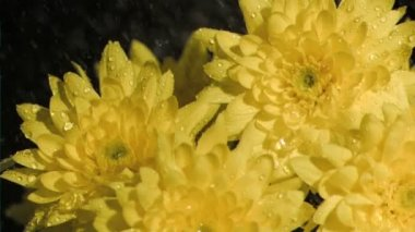 Bunch of chrysanthemums in super slow motion being soaked — Wideo stockowe