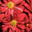 Red daisy flowers in super slow motion receiving water — Stock Video