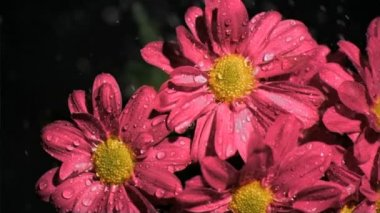 Pink chrysanthemums in super slow motion being soaked — Wideo stockowe