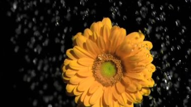 Orange gerbera in super slow motion being watered — Stock Video