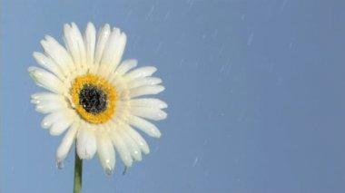 White gerbera daisy in super slow motion being soaked — Stock Video