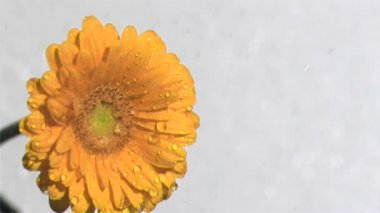 Orange gerbera daisy in super slow motion being watered — Stock Video