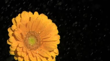Orange gerbera daisy in super slow motion being soaked — Stock Video