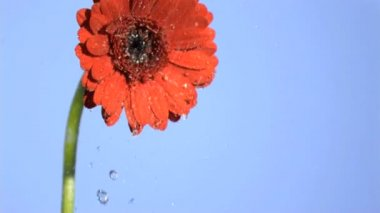 Orange gerbera watered in super slow motion — Stock Video