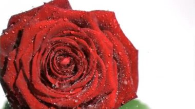 Red rose in super slow motion being soaked — Stock Video