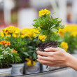 Flowers being put in pots — Stock Photo #23086908