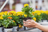 Flowers being put in pots — Stock Photo