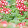 Red and white flowers - Stock Photo
