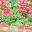 Stock Photo: Red and white flowers