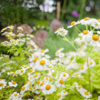 Daisies in the garden — Stock Photo