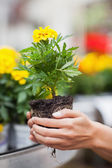 Woman about to put plant into pot — Stock Photo
