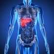 Digital blue human with highlighted liver — Stock Photo