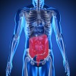 Digital blue human with highlighted digestive system - Stock Photo