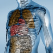 Colorful transparent digital body with organs - Stock Photo